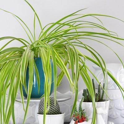 Houseplant Week: Spider Plants