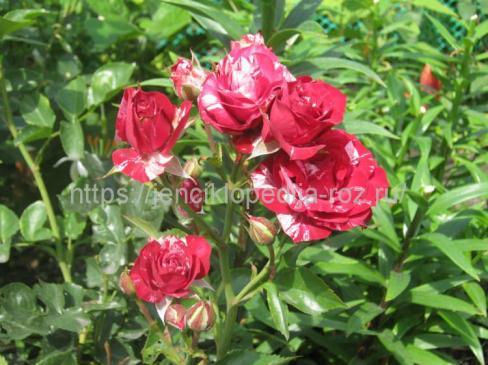 Специальные сорта роз
