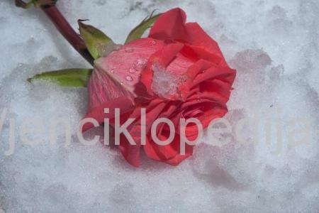 Подготовка и укрытие роз к зиме (1)