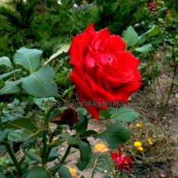 Роза в крыму