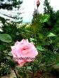 Розовая роза в сентябре