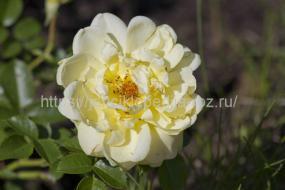 Дикие сорта роз