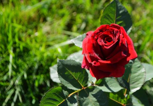 Современные сорта роз