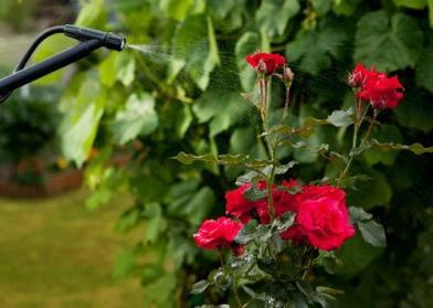 Защита роз от болезней и вредителей