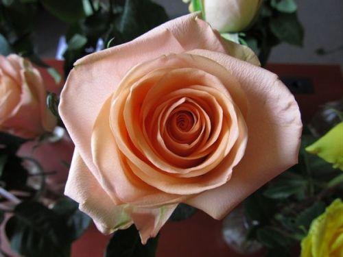 розы сорт тиффани