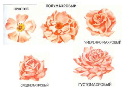 виды роз по махровости