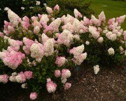 Гортензия — самый красивый цветущий лиственный кустарник