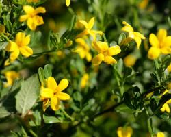 Желтый жасмин, цветущий зимой