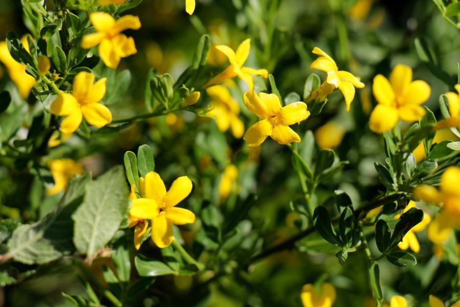 Желтый жасмин нудифлорум