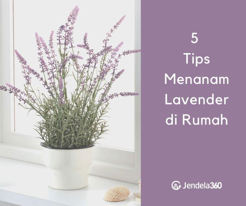 5 Tips dan Trik Menanam Lavender di Rumah