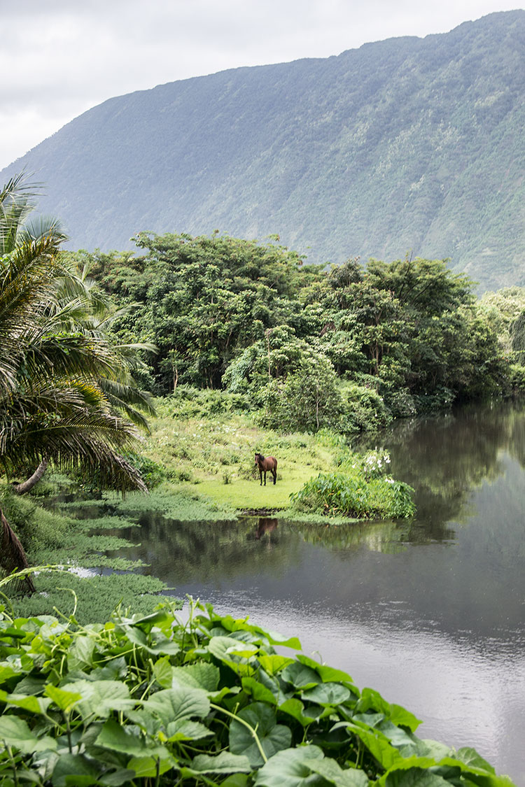 Waipio-Valley-Wild-Horse