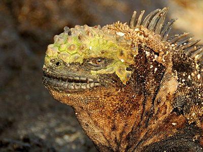 An iguana head