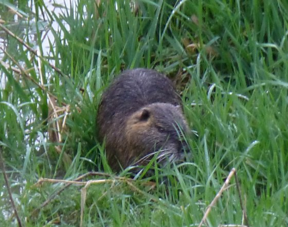 Nutria on the Arno River