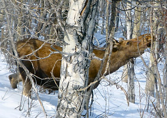 Moose in snow, munching on branches