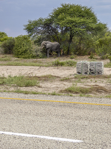 Elephant browsing beside the road