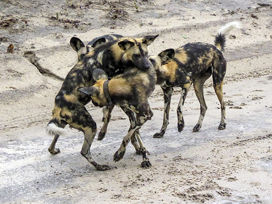African wild dogs jumping on each other, playing.