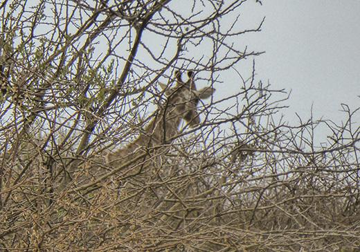 Back of giraffe's head in the brush!