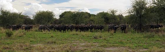 A whole bunch of water buffalo.