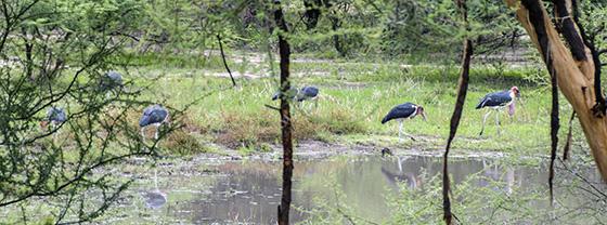 Seven or so marabou storks.