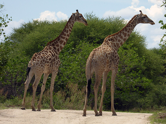 Two giraffes on the road.