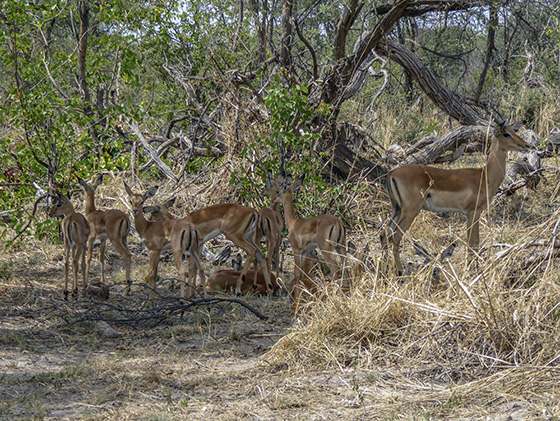 A bunch of young impalas