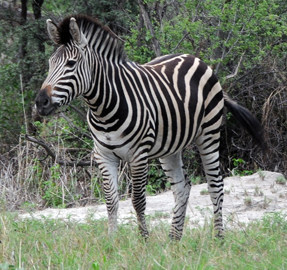 Zebra with extra-wide dark stripes.
