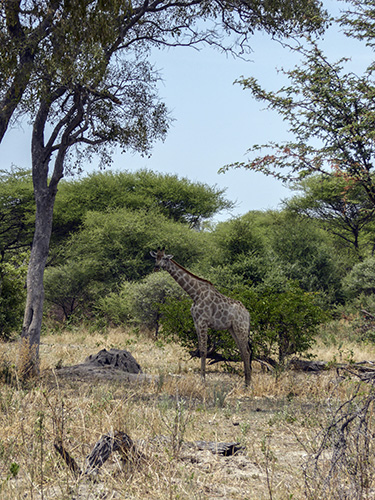 Giraffe in lightly wooded area