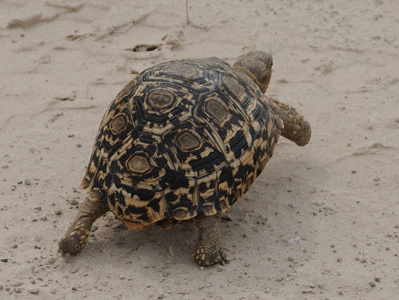 Tortoise hustling across the sand road.
