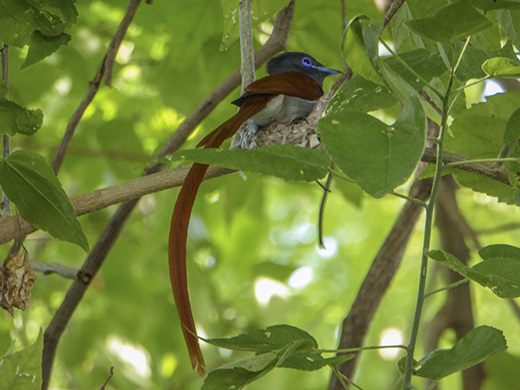Male African Paradise Flycatcher
