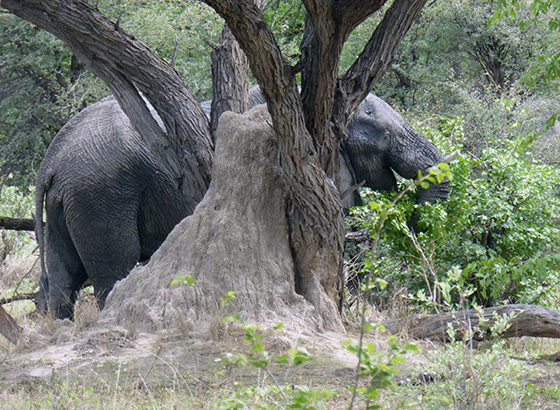Elephant behind an ant hill.