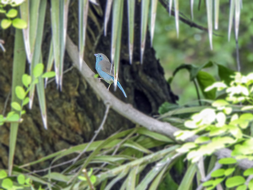 Blue waxbill