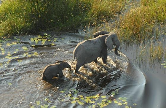 Baby elephant follows mama through water in the Okavango Delta.