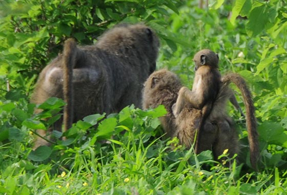Baby baboon rides on adult's back.