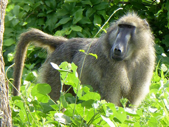 Male baboon standing in greenery.
