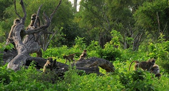 Baboons. Lots of baboons. Playing, grooming, eating, sitting, walking, climbing.