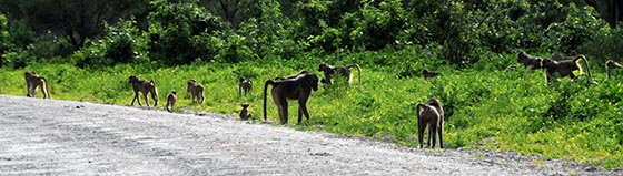 A whole passel of baboons strolling down the road.