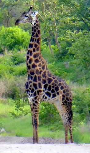 Giraffe with brown spots.
