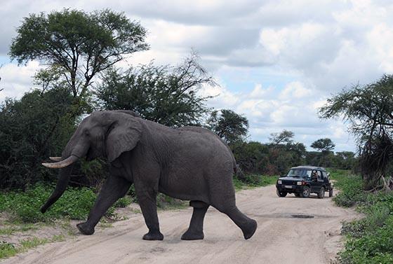 Elephant Crossing a Sand Road