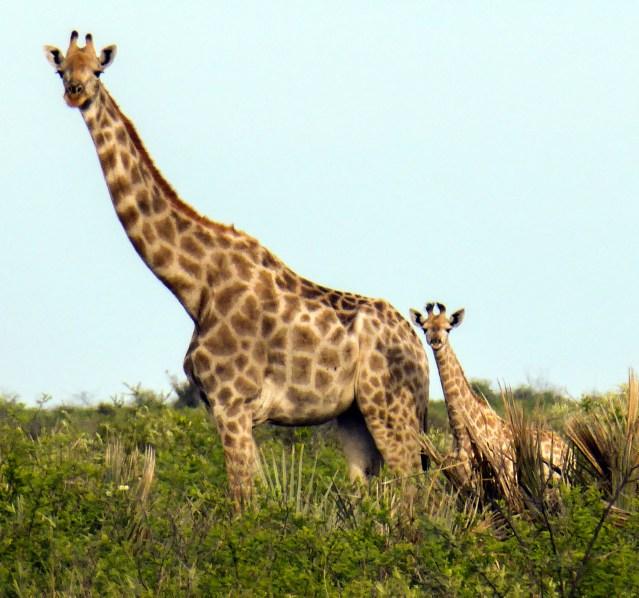 Mama giraffe and baby, Nxai Pan National Park