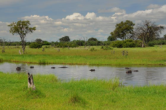 Several hippos submerged in a not-very-big river.