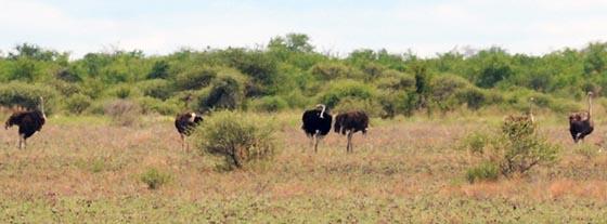 Ostriches in Nxai Pan National Park