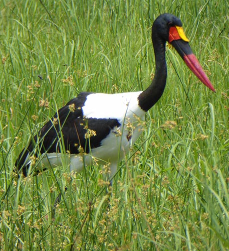 "Black and white stork with red bill that has a yellow ""saddle"" at the base."