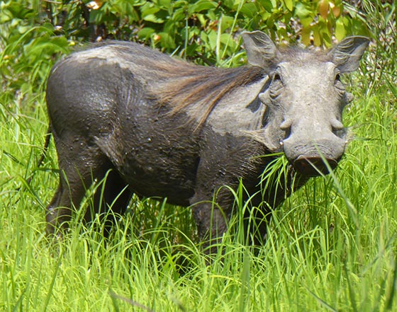 Warthog with grass in its mouth.