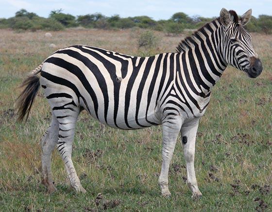 Zebra with no shadow stripes.