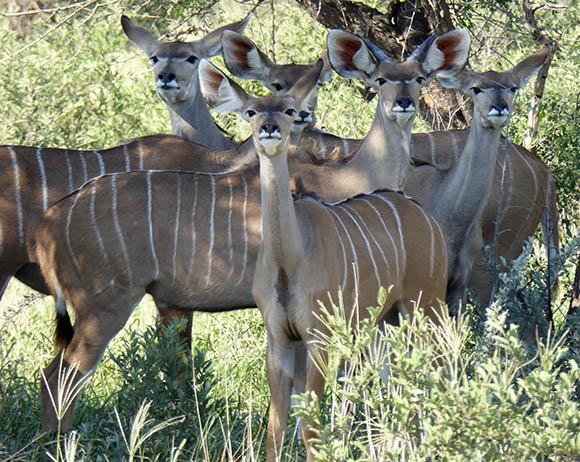 Kudu, Central Kalahari Game Reserve