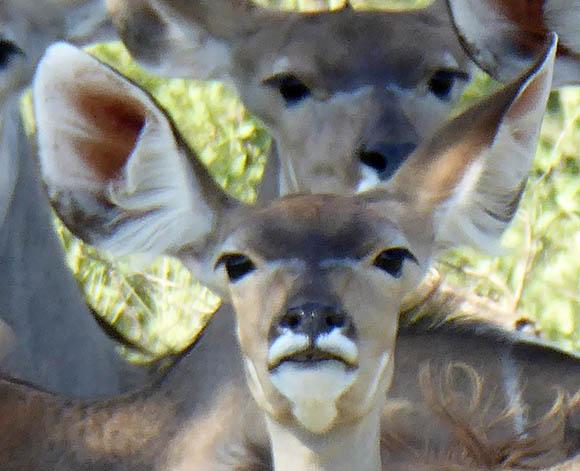Kudu Face , Central Kalahari Game Reserve