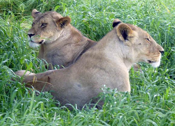 Lionesses, Central Kalahari Game Reserve