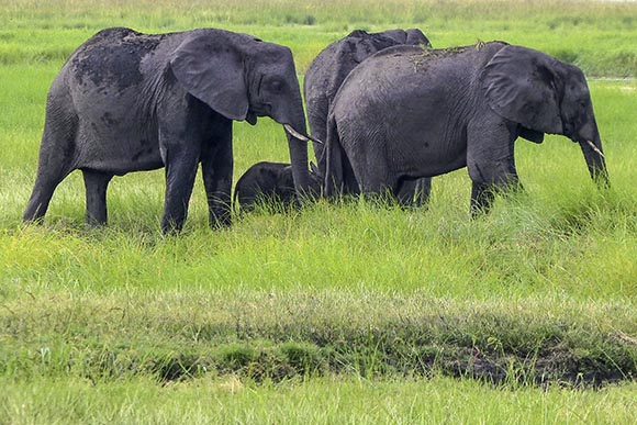 Three adult elephants surround a tiny baby elephant.