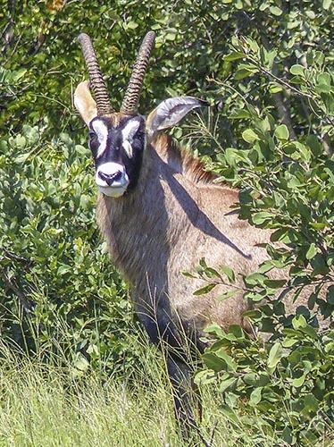 A roan antelope.