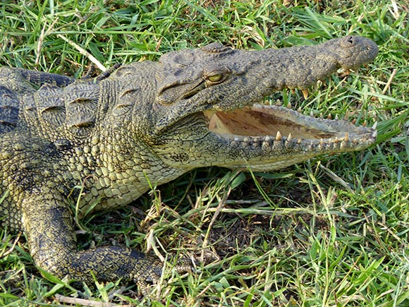 Crocodile with mouth open.